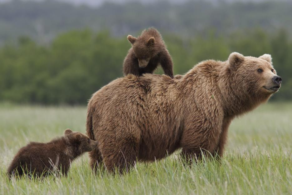 Disneynature Bears 4/18 #disney #disneynature #bears