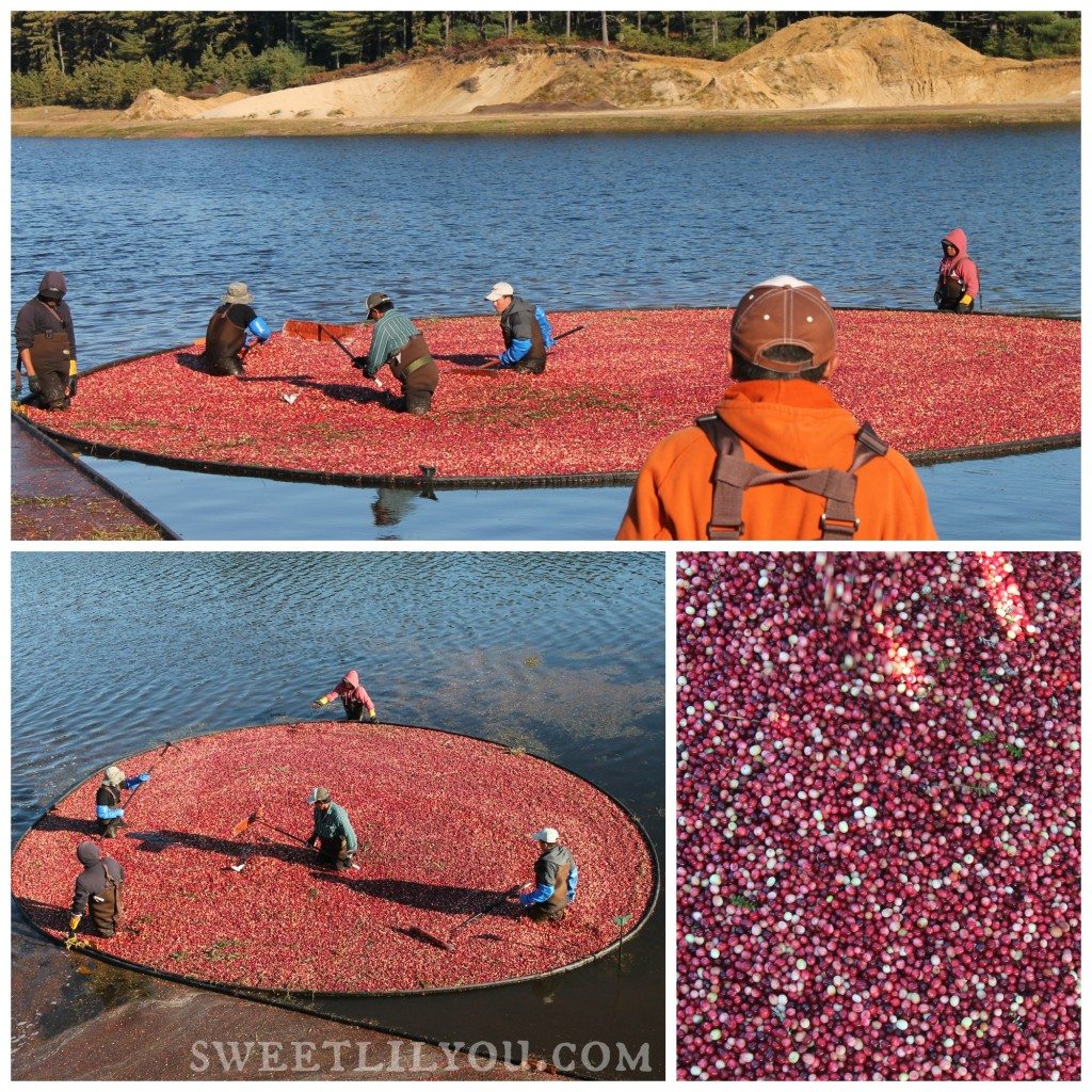 Harvesting cranberries Cranberry Harvest Celebration