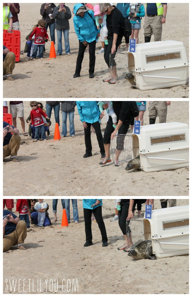 Opening the cage to release the harbor seal!