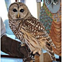 Eec Rhode Island Audubon Society Barred Owl